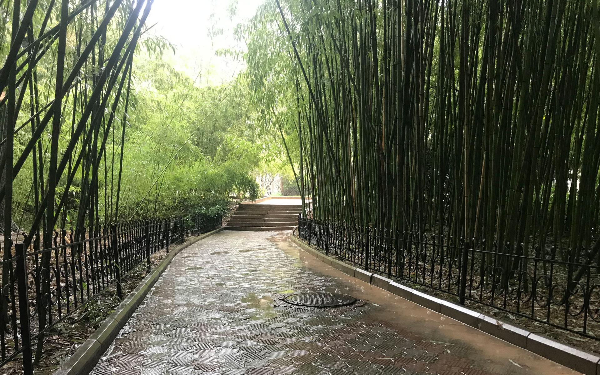 Бамбук в Никитском ботаническом саду. Фото Никита