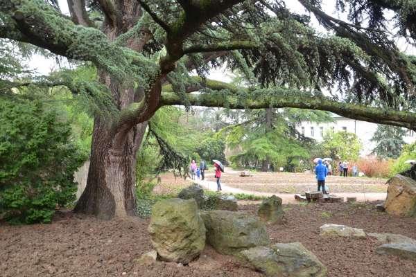 Большое дерево в ботаническом саду. Фото Никита