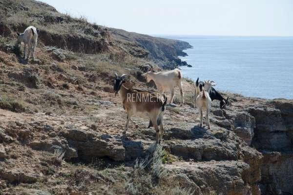 Козы на скалах. Фото Межводного