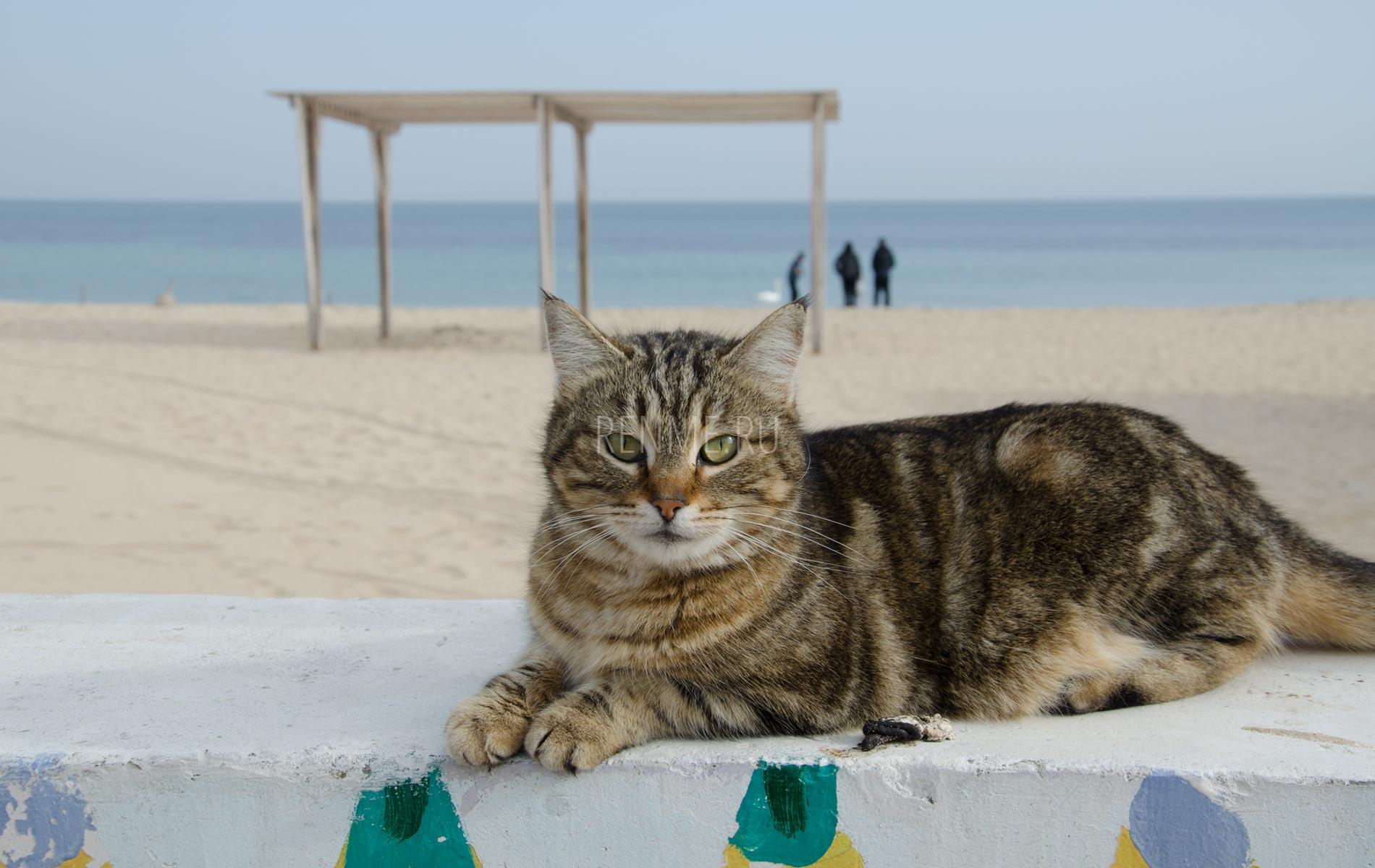 Пляжный котик ждет. Фото Заозёрного