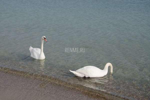 Лебеди в Заозёрном. Фото Заозёрного
